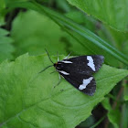 Wood Tiger Moth