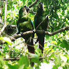 guacamayo severo - chestnut-fronted macaw