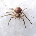 Araña de casa