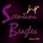 Scentini Beagles Since 1995