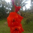 gladiolus hybrid