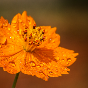 Flower orange street by Thiago Silva - Flowers Single Flower ( orange, life, nature, awesome, drop, natural, close up, colours, droplets )