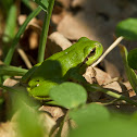 (European) tree frog