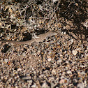 Tiger Whiptail