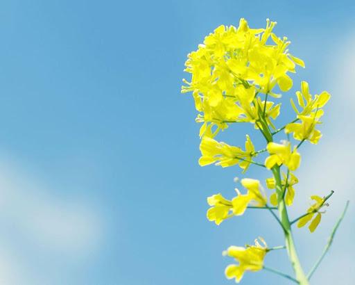 油菜籽花開放壁紙