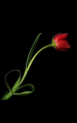 Death Rose Live Wallpaper