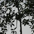 Silver leaf monkey
