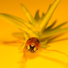 Marinhønna by Blerim Havolli - Animals Insects & Spiders ( porsgrunn, lady bugg, macro, close upp, havolli, marihøna, blerim, bugg, lady, insekter, insect, norway )