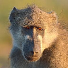 Baboon by Karen Seidel - Animals Other Mammals ( baboon, monkey mammal )