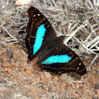 Turquoise Emperor (male)