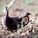 Sooty Grouse