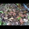 Blackberry vine
