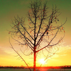 Sunset Tree by Nat Bolfan-Stosic - Landscapes Sunsets & Sunrises ( winter, sky, tree, sunset, leaves )