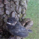Fuzzy black baby bird