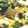 Orchre-striped Cardinalfish