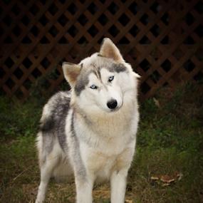 Sideways Head by Tracy Boyd Goodwin - Animals - Dogs Playing ( sideways, blue, husky, grey, siberian, pretty )