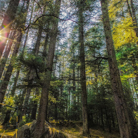 Heights by Shashank Ramesh - Nature Up Close Trees & Bushes ( vacation, winter, hdr, trees, incredibleindia, india, travel, pine, morning, sun flares, tall )