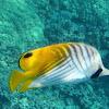 Threadfin Butterfly Fish or Kikakapu
