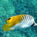 Threadfin Butterfly Fish or Kikakapu