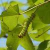 Actias selene - 5th instar larva