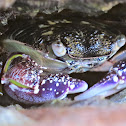 Purple Swift-footed Shore Crab