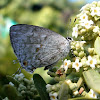 Calachinia Hairstreak
