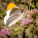 Common Orange Tip (4:4)