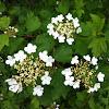 Gemeiner Schneeball or Guelder Rose
