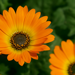 by Bharat Dudeja - Flowers Flower Gardens ( spring colorful flowers, nature, beauty, yellow, spring, flower )