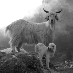 Is this pose ok? by Shishir Desai - Animals Other Mammals ( pose, goat, lamb, black and white, animal )