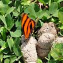 Banded Orange Heliconian