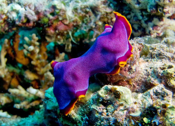 fuchsia flatworm project noah