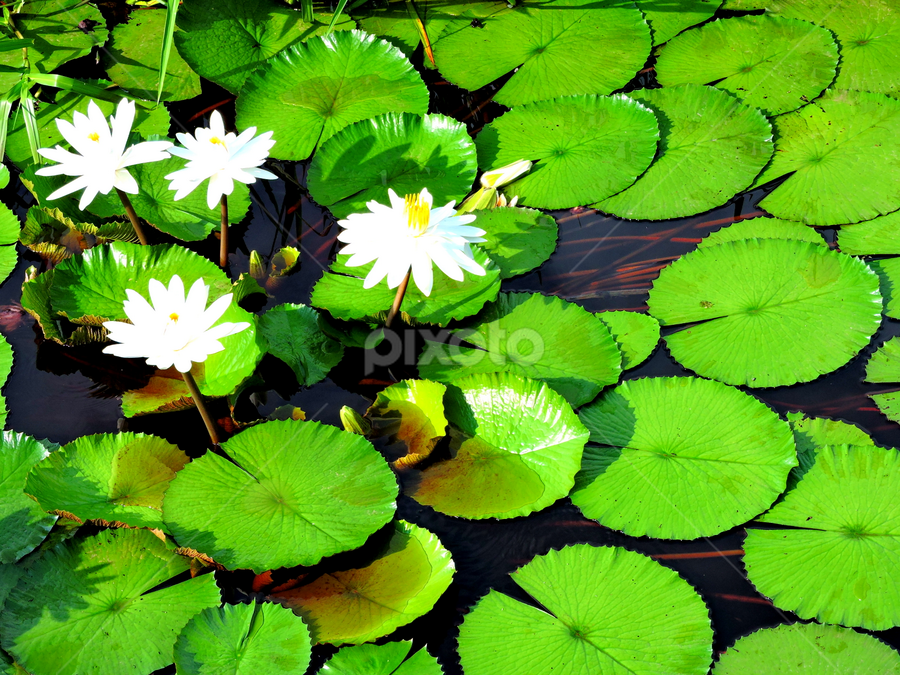 Waterlily pads by Yusop Sulaiman - Nature Up Close Leaves & Grasses