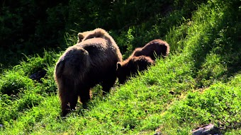 Grizzly Showdown