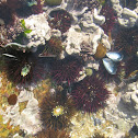 Sea ​​urchins