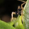 Thinlegged Wolf Spider