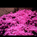 Pink lampranthus
