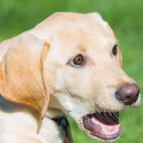 Surprise by Eddie Tuggle - Animals - Dogs Puppies ( puppy, yellow, surprised look, dog, lab )