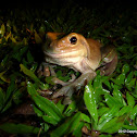 White's Treefrog