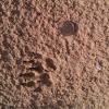 egyption mongoose