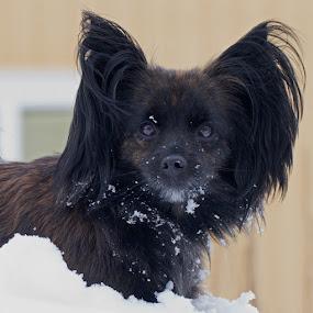Dilba in snow by Claes Wåhlin - Animals - Dogs Portraits ( dilba, winter, snow, dog portrait, dog,  )