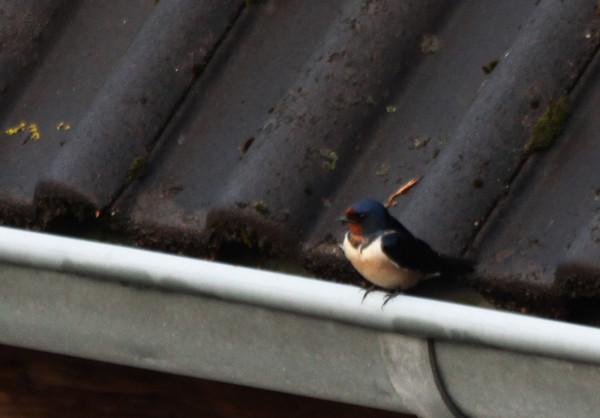 Barn Swallow / Rauchschwalbe