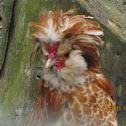 Dwarf Rooster