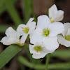 California Toothwort