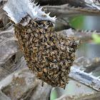 Yucatan Honey Bee