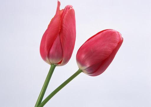 Flower Rose Tulip Wallpaper