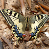 Old World Swallowtail life cycle