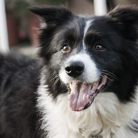 come on, lets play by Graeme Wilson - Animals - Dogs Portraits ( playing, laughing, border collie, dogs, portraits, smiling )