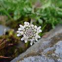 Brassicacea