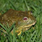 African bullfrog